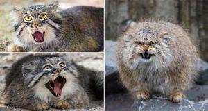 Wild Manul Cats