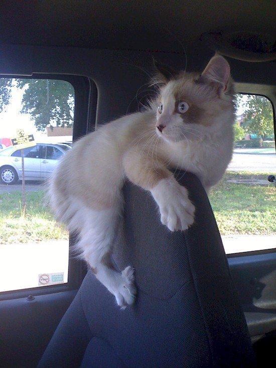 cat seat