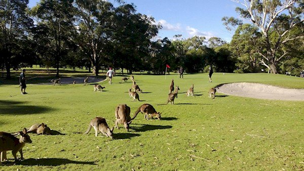golf course kangaroos