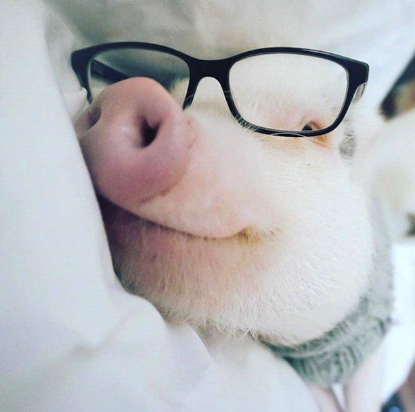 hamlet-pig
