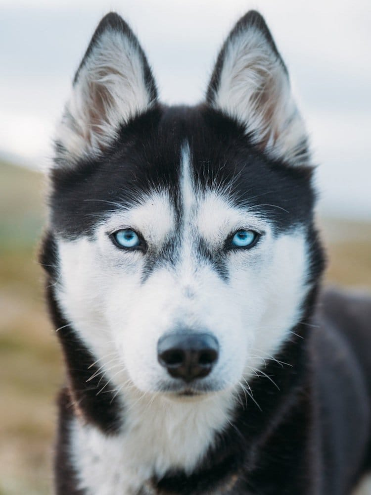 husky-face-two