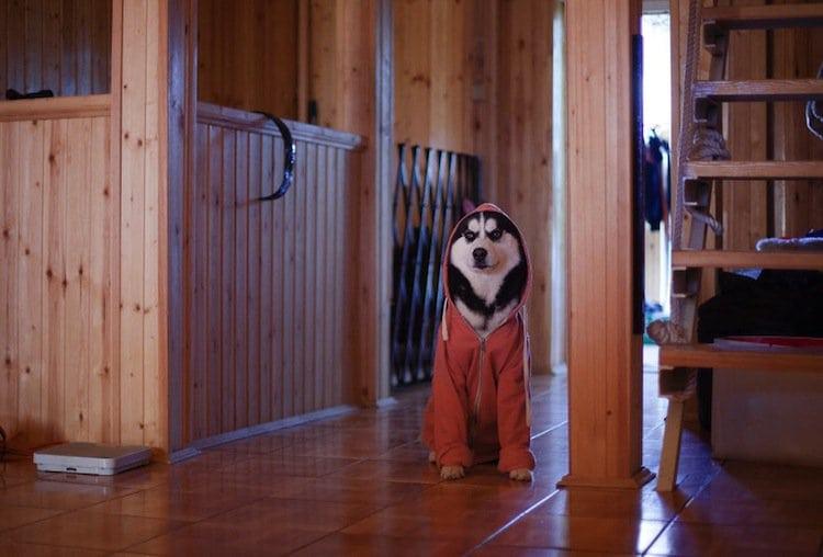 husky-orange