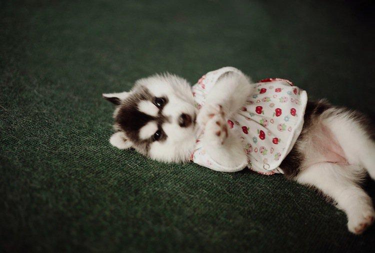husky-red