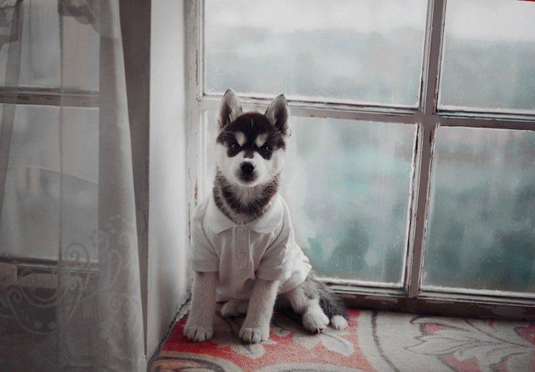 husky-shirt