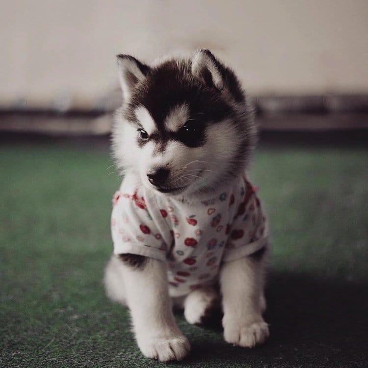 husky-top