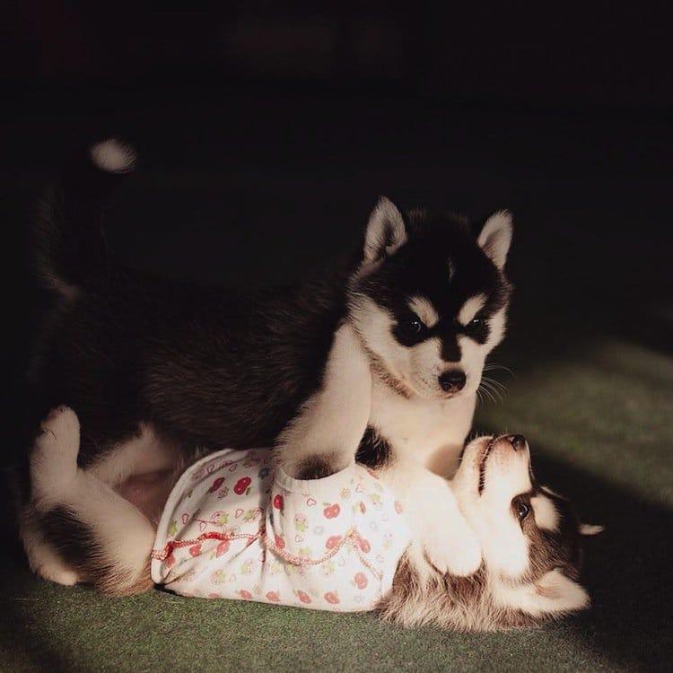 husky-two