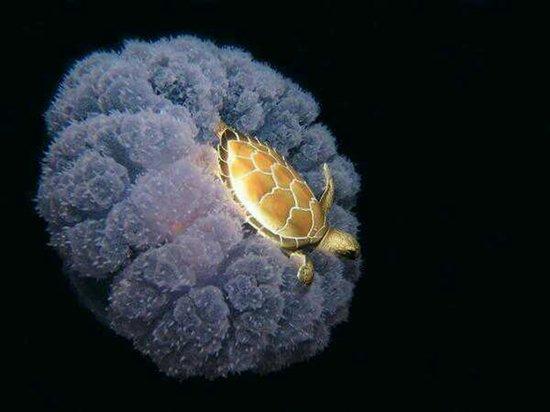 jellyfish turtle