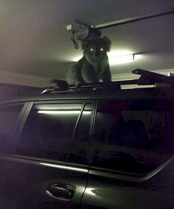 koala car roof