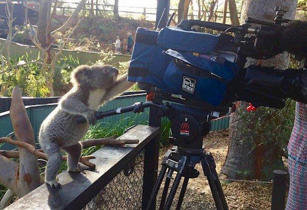 koala tv camera