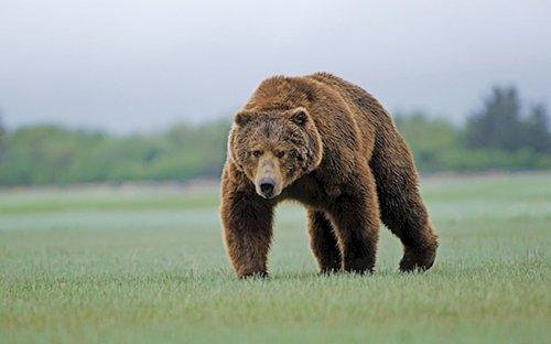 legal-in-us-bear