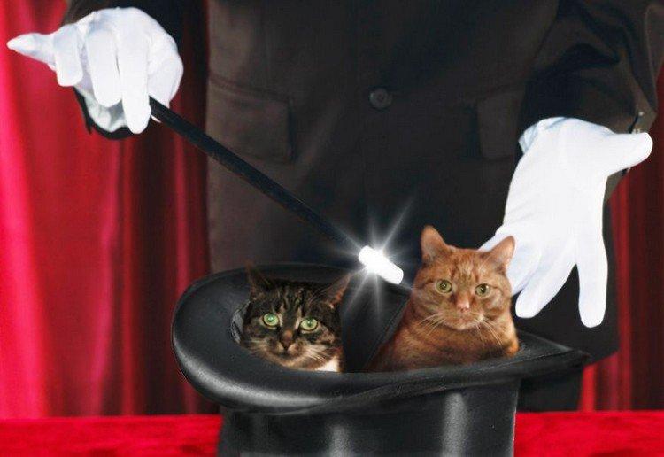 magician cats