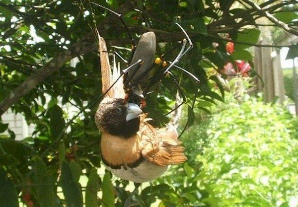 spider eating bird