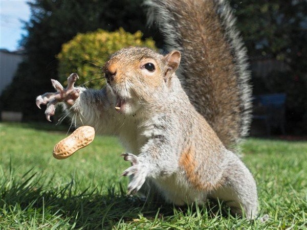 squirrel catching nut