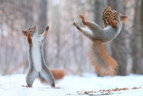 squirrels playing pine cone