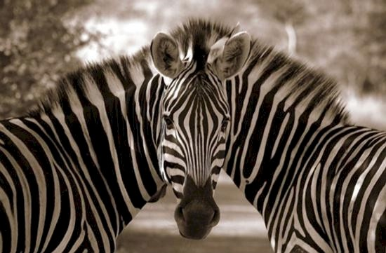 two zebra bodies one head illusion