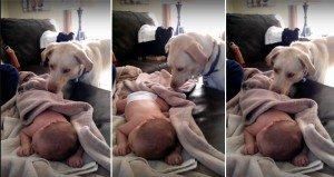 Caring Dog Tucks Baby In