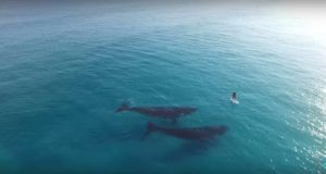 Drone Footage Of Whales And Paddleboarder