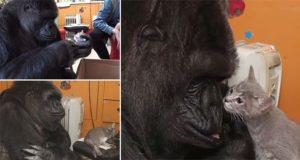 Koko Gorilla Adopts Kittens