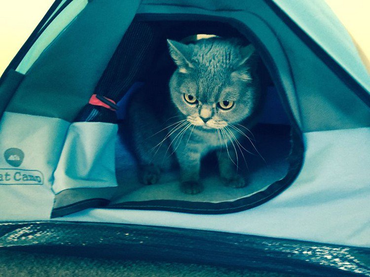 cat looking out tent