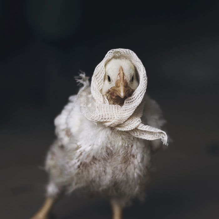 chicken headscarf