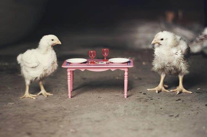 chicks dinner table