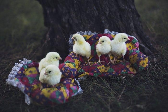 chicks sofas