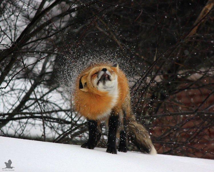 fox-action
