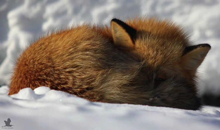 fox-curl