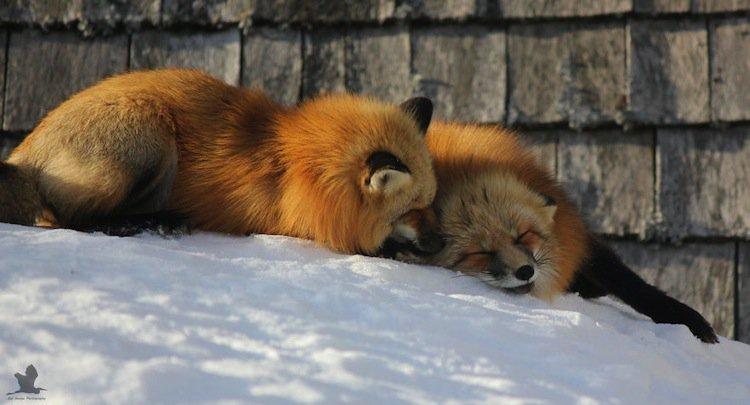 fox-due