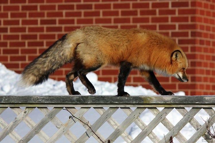 fox-fence