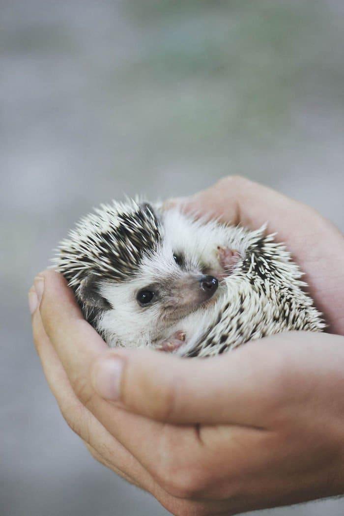 hedgehog hands