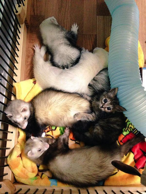 kitten-ferret