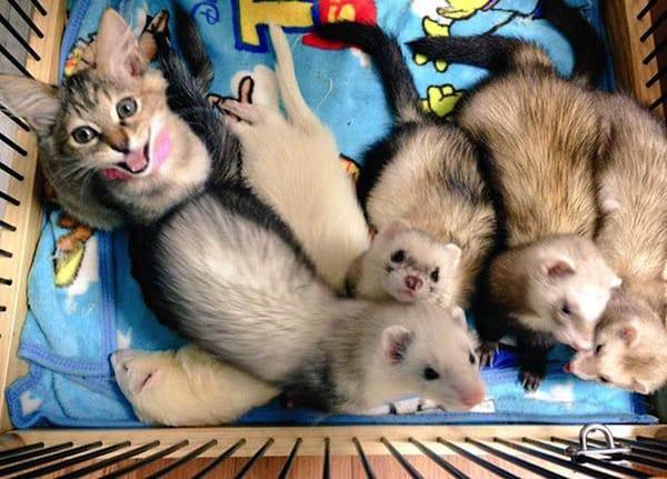 kitten-ferrets