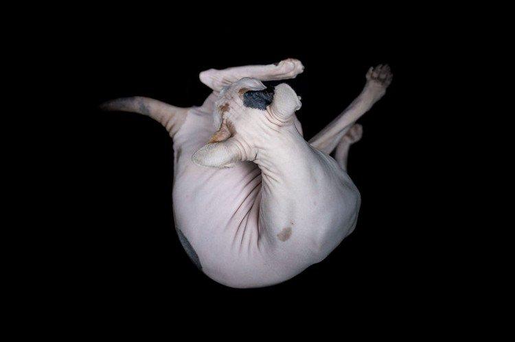 sphynx cat bending