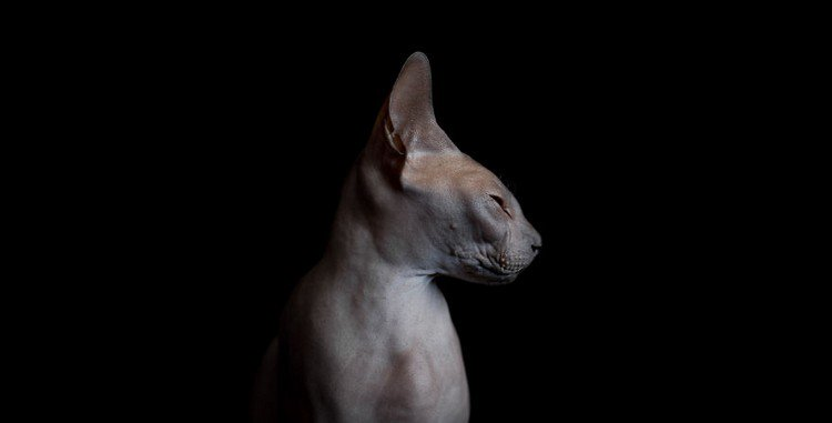 sphynx cat head side
