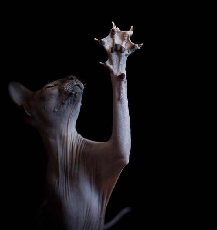 sphynx cat paw