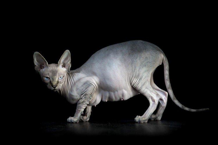 sphynx cat side