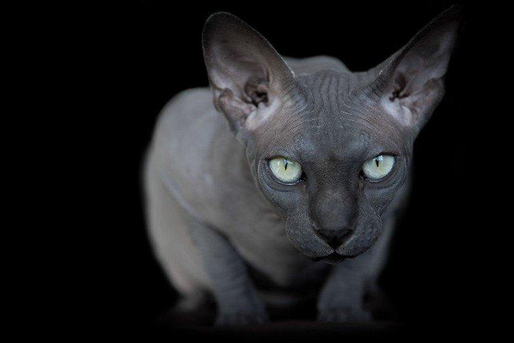sphynx cat stare