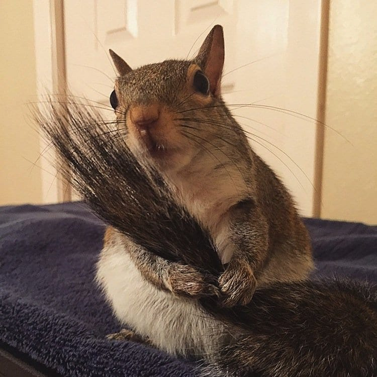 squirrel-tail