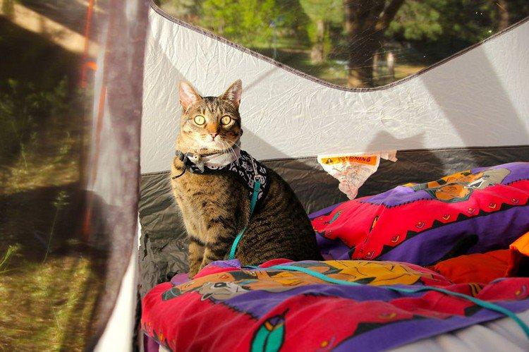 tent cat