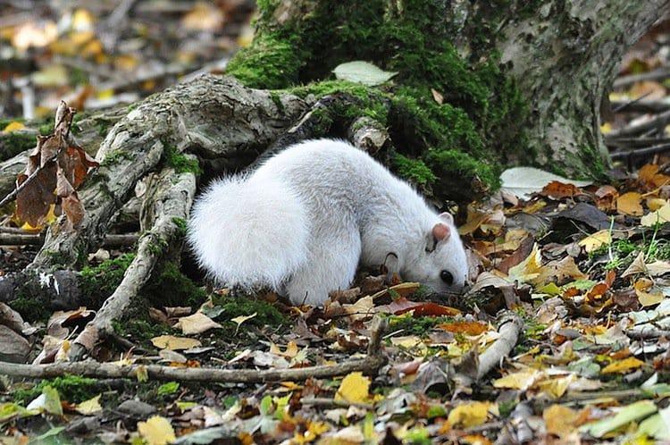 white-squirr