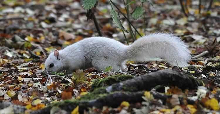 white-squirrel-l