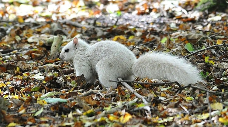 white-squirrel