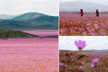 Atacama Driest Desert Flowers
