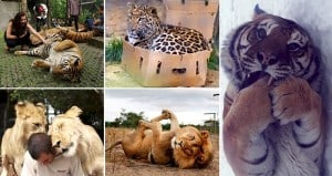 Big Cats Acting Like Domestic Cats