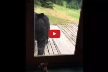 Cat Vs Bear