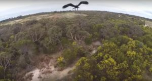 Eagle Destroys Drone