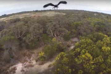 Eagle Destroys Drone