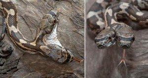 Jason Talbott Snake With Two Heads