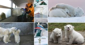 Polar Bears Extinction
